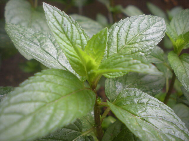 File:Pfefferminze natur peppermint.jpg