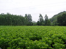 Mulberry Bushes