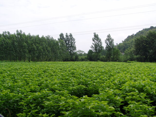 File:Mulberry Bushes.jpg