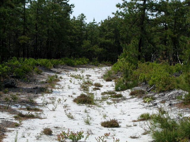 File:Pine-barrens.jpg
