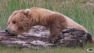 Grizzly Bear (real) (2)