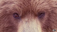 Grizzly Bear (real) (3)
