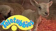 Teletubbies Lambs - HD Video