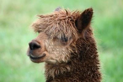 File:Alpaca.jpg