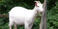 Abraham Doubledork Arrested for Goat Tampering
