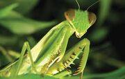 Praying mantis gohappy