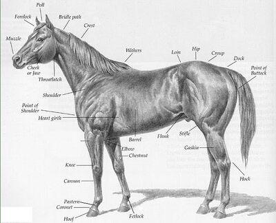 Horse-with-parts-description