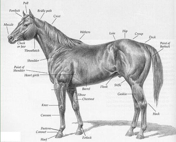 File:Horse-with-parts-description.jpg