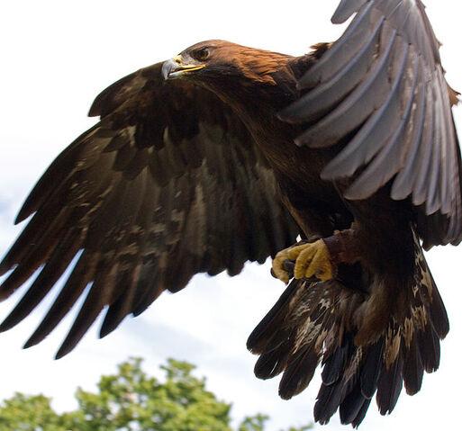File:642px-Golden Eagle in flight - 5.jpg