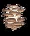 C048 Sunshower i05 Oyster mushrooms