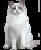 C172 Purebred cats i02 Ragdoll cat