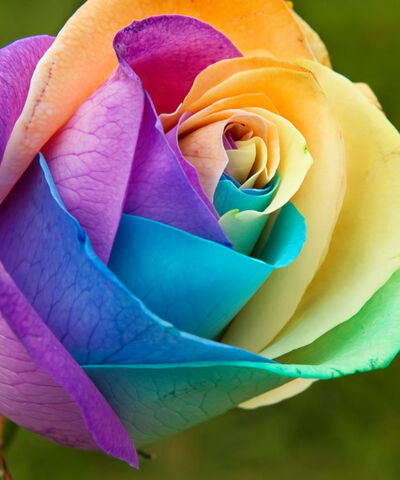 File:Rainbow Rose by SonjaMY.jpg