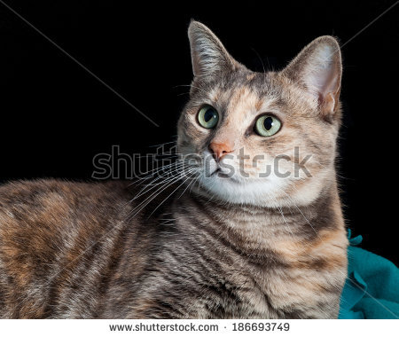 File:Stock-photo-beautiful-ginger-and-grey-tortoiseshell-tabby-cat-sitting-on-a-teal-blanket-and-looking-surprised-186693749.jpg