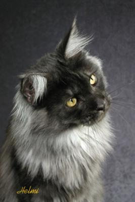 File:Black-smoke-maine-coon-cat.jpg
