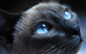 Black-cat-blue-eyes