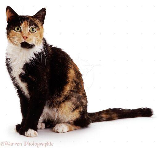 File:04121-Tortoiseshell-cat-white-background.jpg