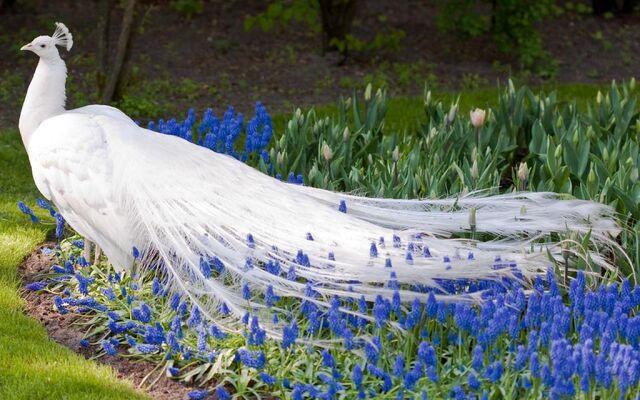 File:White-Peacock-Wallpaper6.jpg