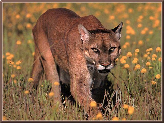 File:Cougar-07.jpg