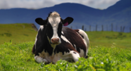 Photo-gallery-our-cows