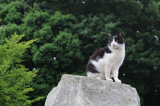 File:Black and white cat on a rock-Hisashi-01.jpg
