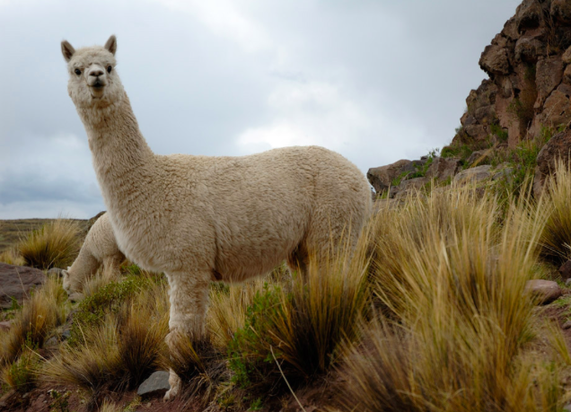 File:Alpaca.png