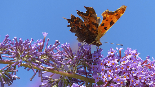File:Comma butterfly at Higher Hyde Heath.jpg
