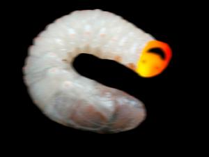 Larvae leper