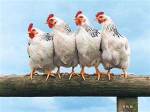 File:Chicken buddies.jpg