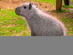 Capybara Mutt