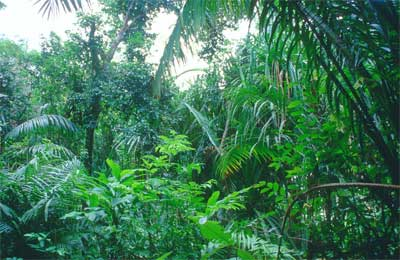 File:Tropical-rain-forest.jpg