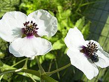 File:220px-SagittariaSagittifolia-bloem-kl.jpg