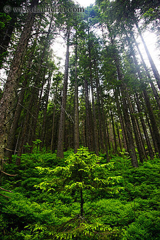 File:Small-tree-in-tall-forest-big.jpg
