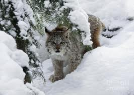 File:Lynx mutt.jpg