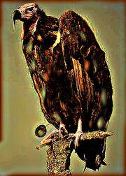 Muttation vulture