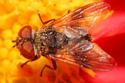 File:3515245-red-fly.jpeg