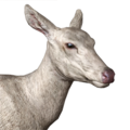Roosevelt elk female albino