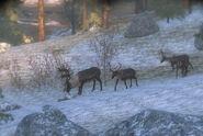 Reindeer 04