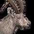 Alpine ibex male common