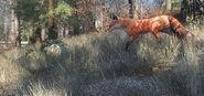 2013 07 red fox