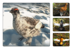 Species rock ptarmigan