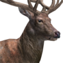 Red deer male common