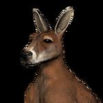 Red kangaroo male common