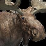 Moose male common