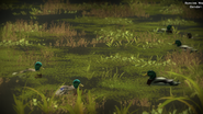 Waterfowling picture 6