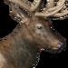 Roosevelt elk male common
