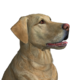 Labrador retriever yellow male