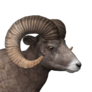 Bighorn sheep male common