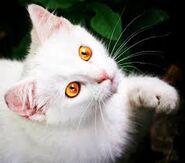 White Kitty catty