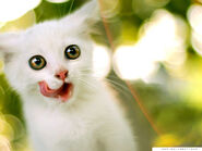 White-cats-are-beautiful-30-photos-14