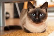 Siamese-cat-catalin-pomeanu